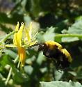 New Bumble Bee In My Garden - Bombus morrisoni