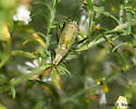 Green thing - Oecanthus nigricornis - male