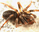 spider - Hahnia cinerea - male