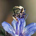 Tiny bee on Phacelia - Halictus tripartitus