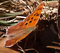 Comma or Question Mark? - Polygonia interrogationis