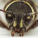 Beetle - Xylotrechus longitarsis