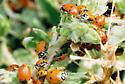 Convergent Lady Beetles - Hippodamia convergens