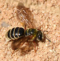 colonial sand nesting bees - Dieunomia - female