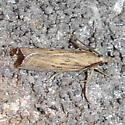 Fissicrambus quadrinotellus, #5385 - Fissicrambus quadrinotellus