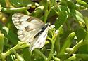butterfly - Pontia protodice