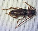 longhorn beetle - Anelaphus moestus