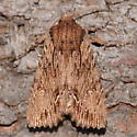 Willow leaftier - Morrisonia confusa