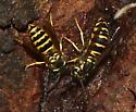 Wasps - vespula maculifrons? - Vespula maculifrons