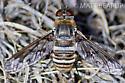 Bee Fly - Exoprosopa doris