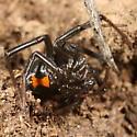 Western Black Widow - Latrodectus hesperus