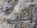 sand colored wolf spider - Arctosa littoralis