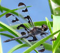 spotted blue dragonfly - Celithemis fasciata - male