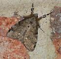 Orgyia leucostigma - White-marked Tussock Moth - Hodges#8316? - Orgyia leucostigma