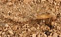 wormlion - Vermileo opacus