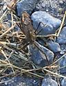 Beetle - Arilus cristatus