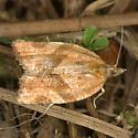 Nice Moth - Argyrotaenia franciscana