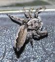 6/12/21 Spider - Platycryptus undatus