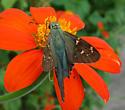 Butterfly - Urbanus proteus
