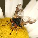 Stubby fly - Phasia aurulans - male