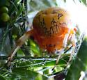 Still there on Oct. 20 - Araneus marmoreus