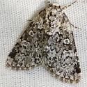 Cryphia olivacea - Hodges #9287 - Cryphia olivacea