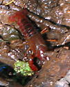 Reddish crayfish moving around mostly above water before entering burrow perhaps - Procambarus clarkii