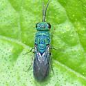 Cuckoo Wasp, blue and green