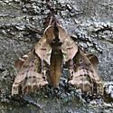 Blinded Sphinx Moth - Paonias excaecata - female