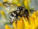 Cuckoo Bee? - Xeromelecta californica
