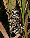 Rainbow Grasshoppers,mating - Dactylotum bicolor - male - female