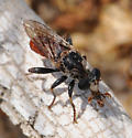 Robber fly - Cerotainiops omus