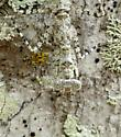 Grizzled Mantid - Gonatista grisea