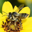 Megachilid - Megachile parallela