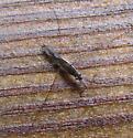 Limnoporus canaliculatus