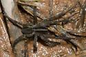 Wolf Spider - Tigrosa helluo