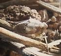 Ticida chamberlini (Dictyopharidae) - Ticida