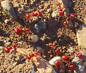 Ants.  Are they Red Harvester Ants? - Pogonomyrmex