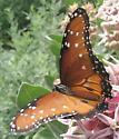 Butterfly - Danaus gilippus - male