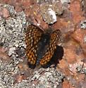 Another Checkerspot - Euphydryas anicia