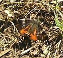 Moth/butterfly - Archiearis infans