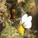 Little Red Wasp - Alabagrus - female