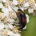 Wedge-shaped beetle – Macrosiagon cruenta? - Macrosiagon cruenta