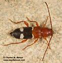 Beetle - Phymatodes varius