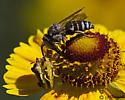 Bee on Helenium - Coelioxys