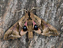 Blinded Sphinx - Paonias excaecata - male
