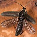 Firefly? - Ellychnia corrusca
