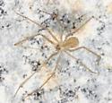 Cellar Spider - Spermophora senoculata