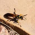 Unknown Wasp 5 - Sceliphron caementarium - female