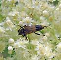 Cerambycidae  8-02-09 02 - Etorofus obliteratus